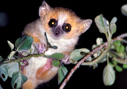 20070519165533-lemurroig.jpg